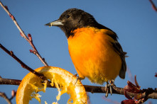 Baltimore Oriole at Turtle Creek Outfitters
