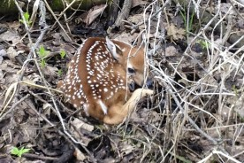 Deer Fawn at Turtle Creek Outfitters