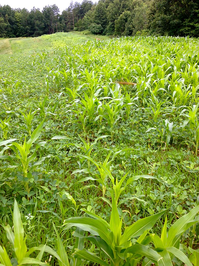 Wisconsin food plot at Turtle Creek Outfitters