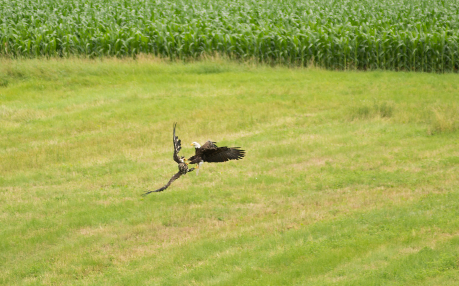 Bald Eagles Fight Golden Eagle » Turtle Creek Outfitters